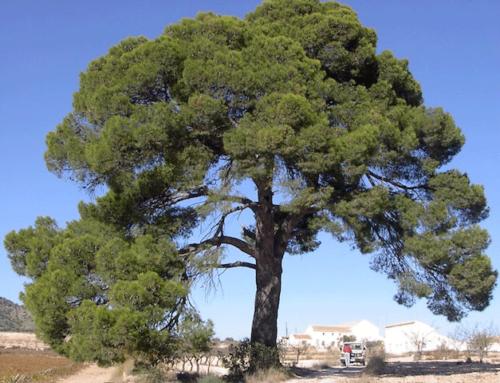 Cómo realizar una correcta poda de pinos