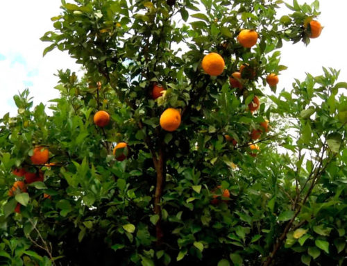 Poda y mantenimiento de naranjos en jardines